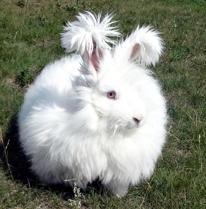 История ангорских кроликов уходит в древность.