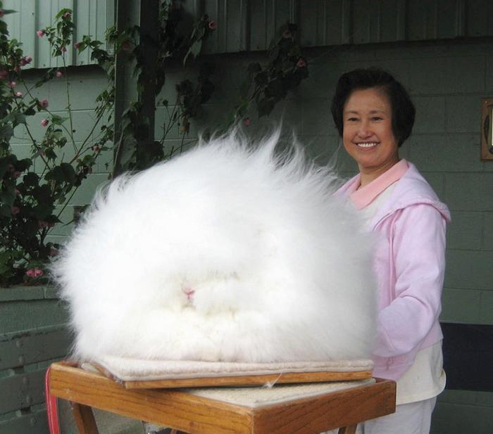 Родиной ангорских кроликов является Турция.