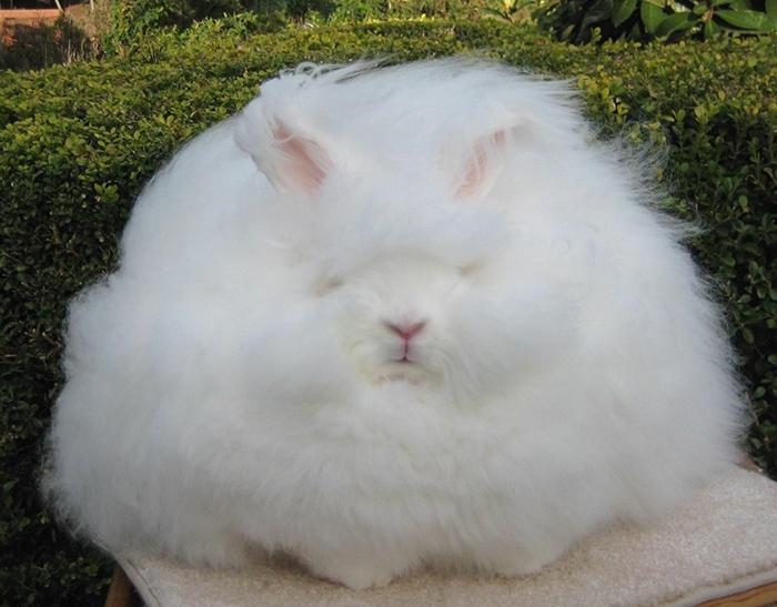 Ухаживать заангорскими кроликами— таеще головная боль.