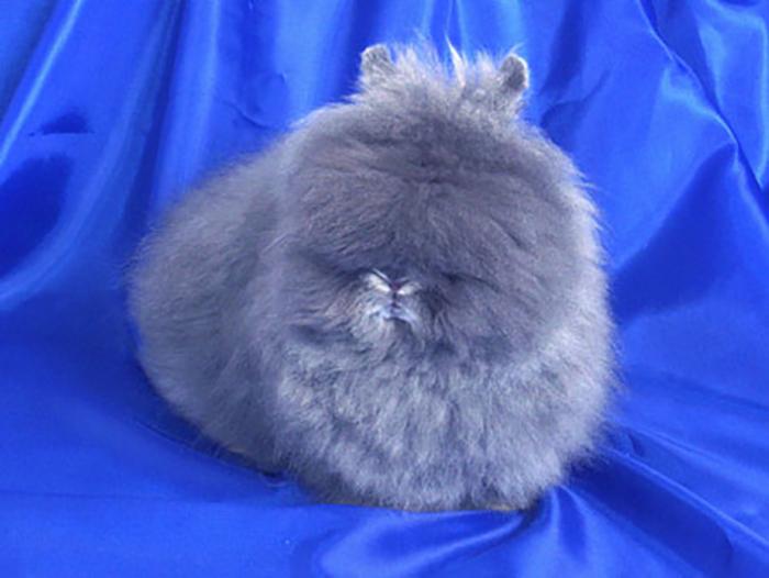 Особое внимание необходимо приделять уходу зашерстью ангорских кроликов.