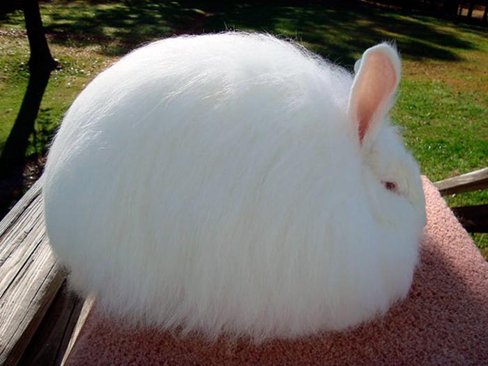 Шерсть ангорских кроликов невызывает аллергии.