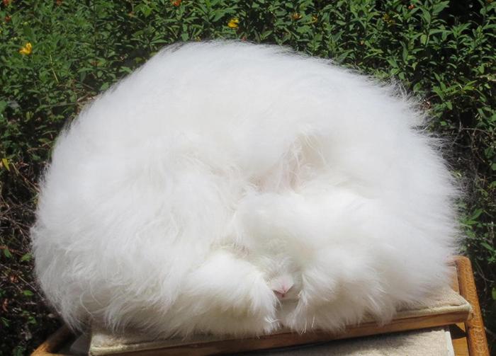 Ангорские кролики в среднем живут 5-7 лет, но домашние и хорошо ухоженные животные нередко доживают до 12.