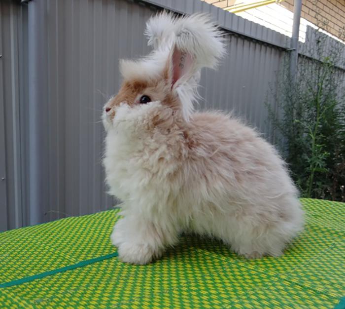 Ангорские кролики бывают разной расцветки.