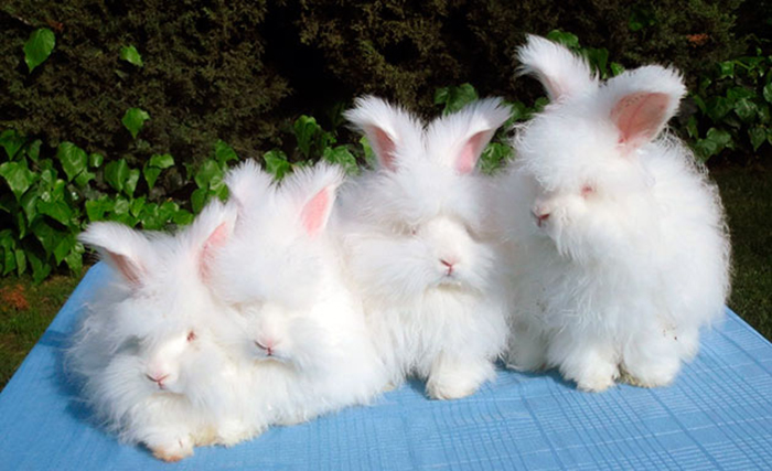 Ангорские кролики.