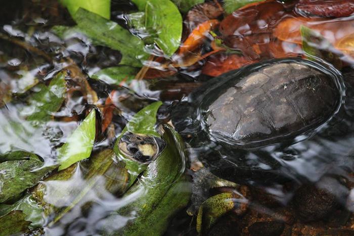 Черепашка, живущая в заповеднике.