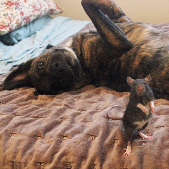 Овчарка Озирис и крыса Рифф.