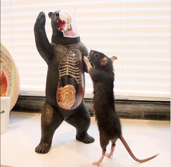 Крыса Рифф знакомится с инвентарем клиники.