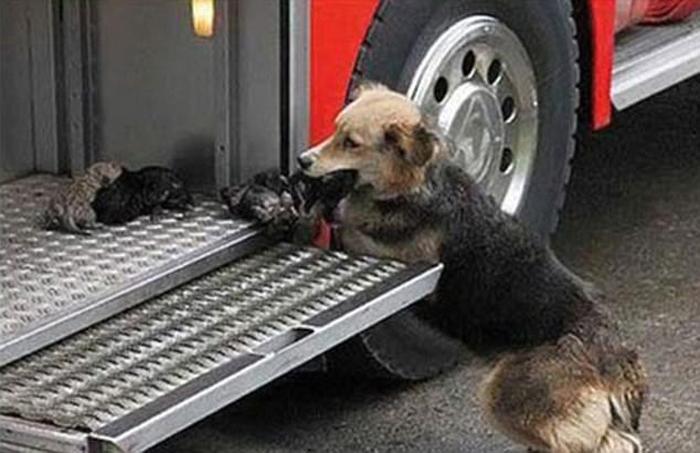 Собака самостоятельно вынесла своих щенков из горящего здания и принесла их в самое безопасное место - к пожарной машине, поближе к людям.