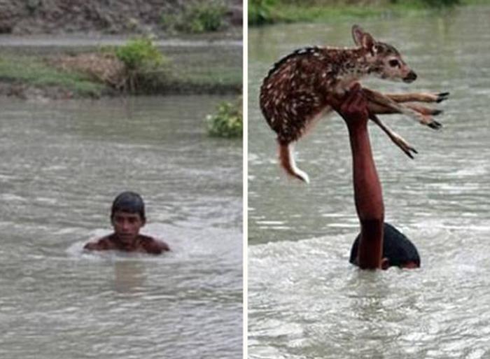 Мальчик бесстрашно прыгнул в бурную реку в Ноахали, Бангладеш, чтобы спасти тонущего олененка. Парнишке удалось вытащить малыша на сушу, где тот присоединился к своей семье.