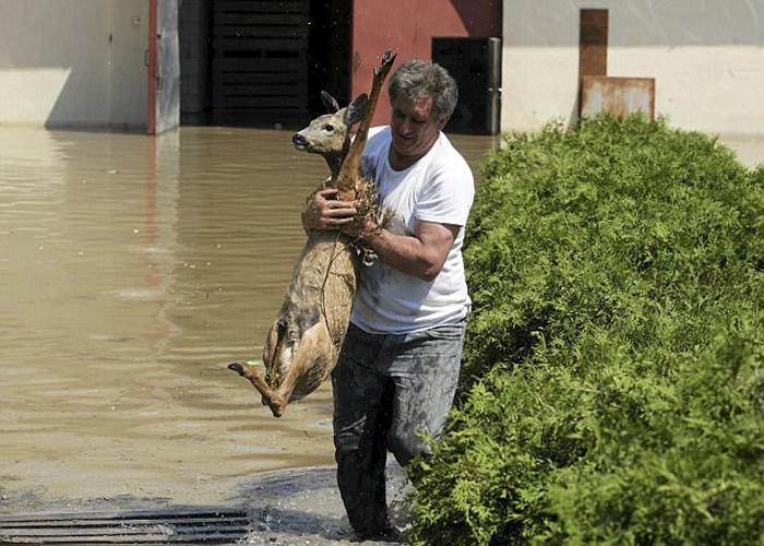 Один из жителей Польши спасает из воды олененка, испугавшегося внезапного наводнения.