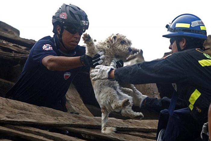 Когда в 2010 году в Чили произошло землетрясение, спасатели работали круглосуточно, чтобы освободить из-под завалов и людей, и животных.