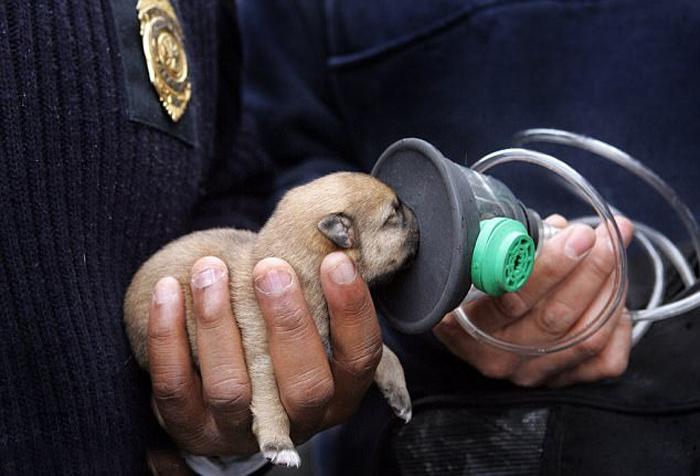 Спасательная команда из Кливленда в Огайо пытается привести в чувство крошечного щенка с помощью кислородной маски.