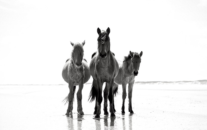Породистые лошади острова Камберлэнд. Фото: Anouk Masson Krantz.