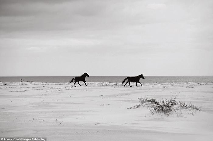 С тех пор, как люди оставили лошадей жить самостоятельно, животные отлично приспособились к местному климату.  Фото: Anouk Masson Krantz.