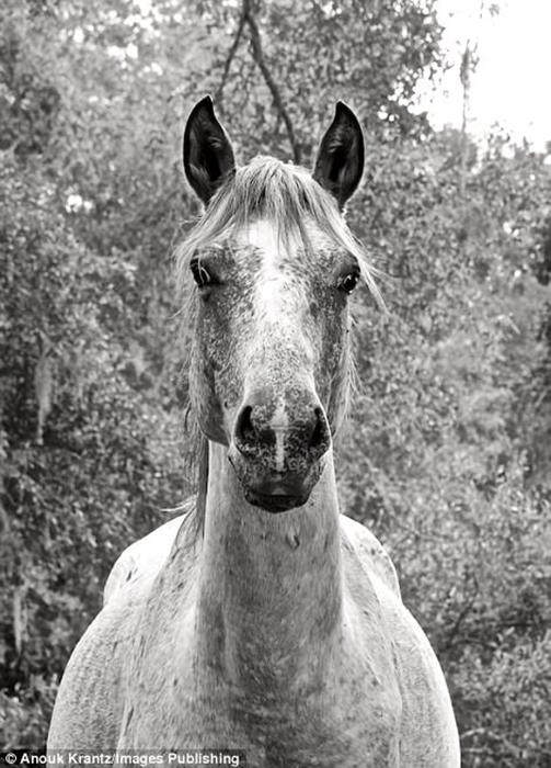 Породистые, но дикие лошади острова Камберлэнда стали местной достопримечательностью. Фото: Anouk Masson Krantz.