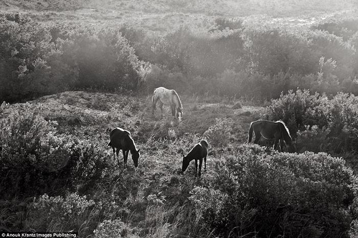 На острове насчитывается около 150 диких лошадей.  Фото: Anouk Masson Krantz.