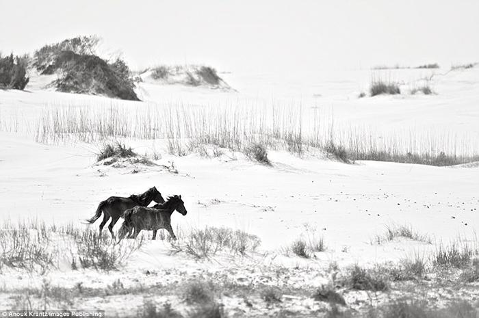 В течение нескольких десятилетий люди не вмешиваются в жизнь местных лошадей.  Фото: Anouk Masson Krantz.