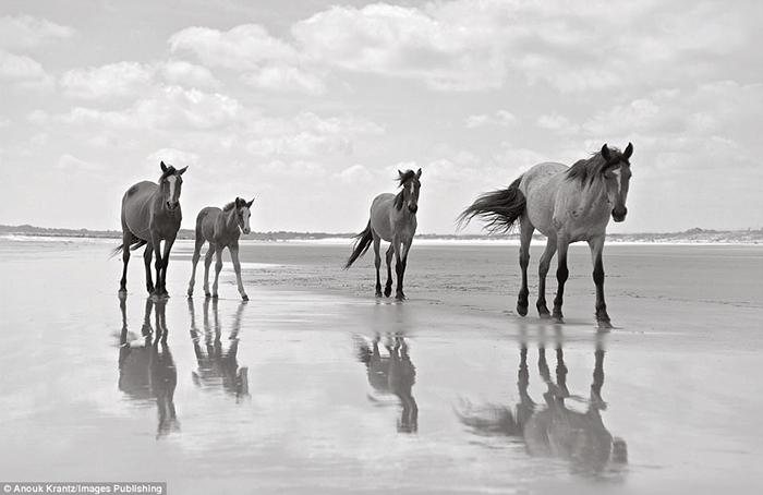 На всем восточном побережье Америки, эти лошади являются единственным диким табуном. Фото: Anouk Masson Krantz.