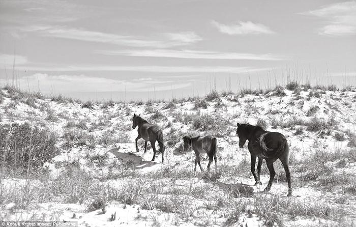 Небольшая семья лошадей идет вдоль берега острова.  Фото: Anouk Masson Krantz.