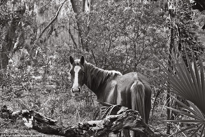 Несмотря на то, что лошади дикие, они не похожи на табуны диких животных, которых можно увидеть в прериях.  Фото: Anouk Masson Krantz.