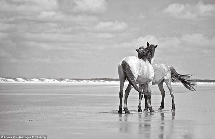 Считается, что эти лошади были завезены на остров два века назад.  Фото: Anouk Masson Krantz.