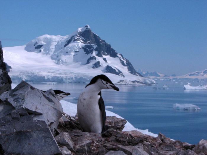 Родина пингвинов.