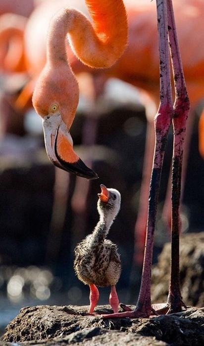 У фламинго детенышей выращивают оба родителя.