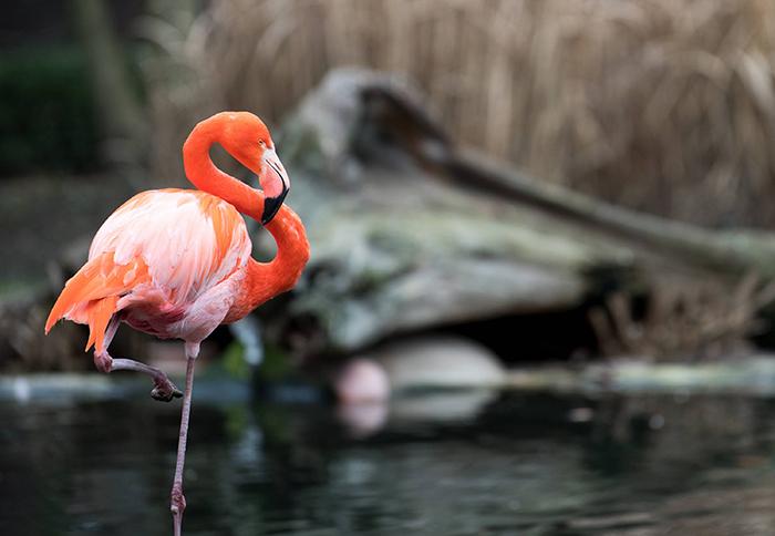 Взрослая птица фламинго.