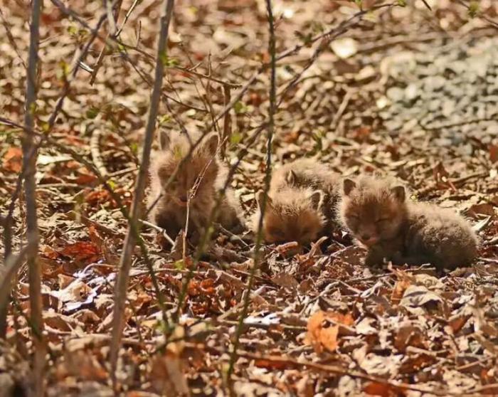 Фотосессия лисиц на заднем дворе.