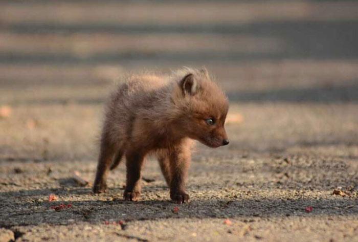 Детеныш лисицы.