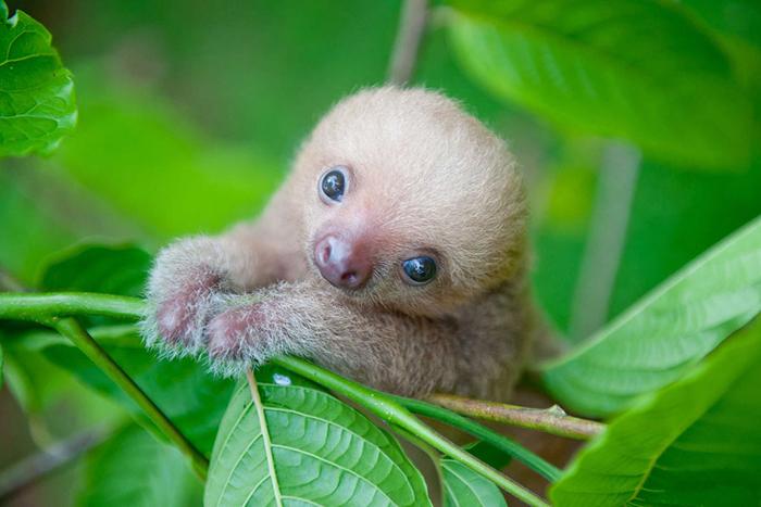 Маленький ленивец. Фото института Ленивцев в Коста-Рике.