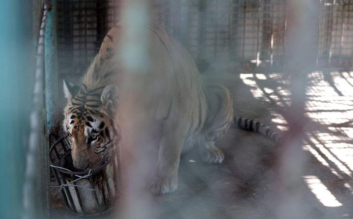 Лазиз, последний выживший тигр во всей Газе.
