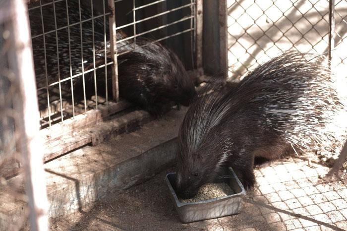 Два дикобраза живут в маленькой тесной клетке.
