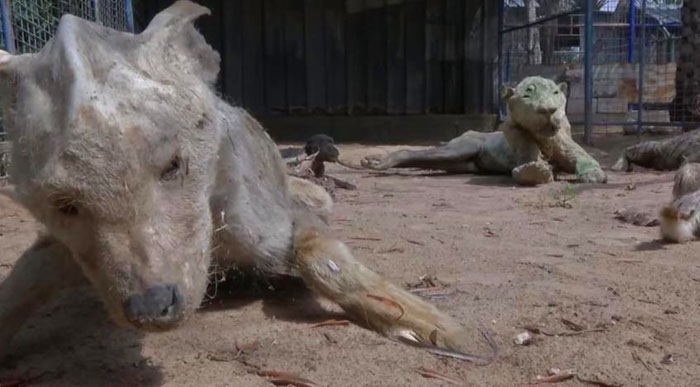 Оставленные на три недели животные умерли от голода и жажды и превратились в мумии.