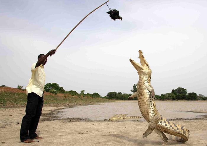 Крокодилы очень любят куриц.