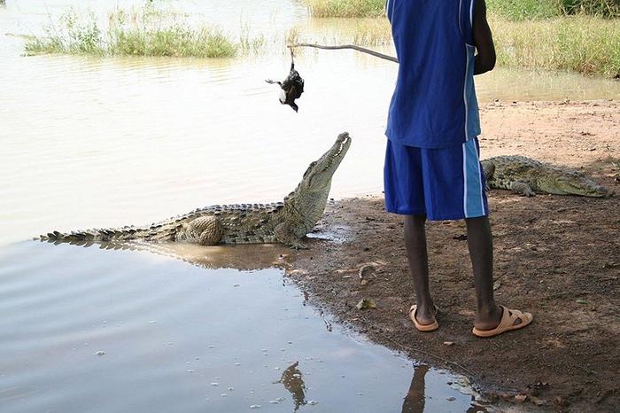 Местные жители считают своим долгом оберегать и заботиться о крокодилах.