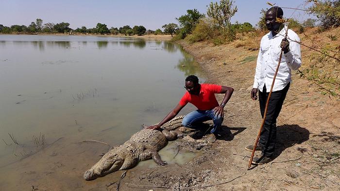В период засухи крокодилы впадают в спячку и совсем не едят.