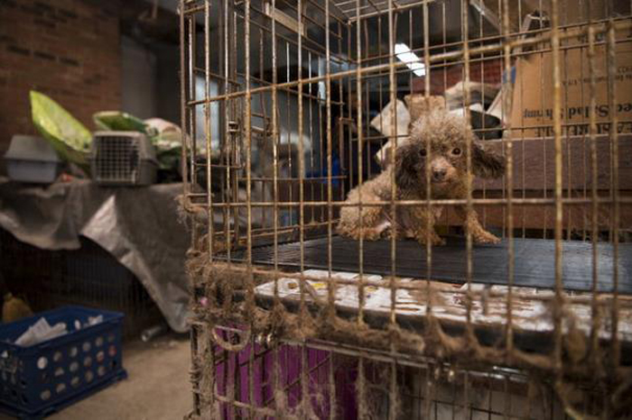 БиБи, спасенная с собачьей фермы.