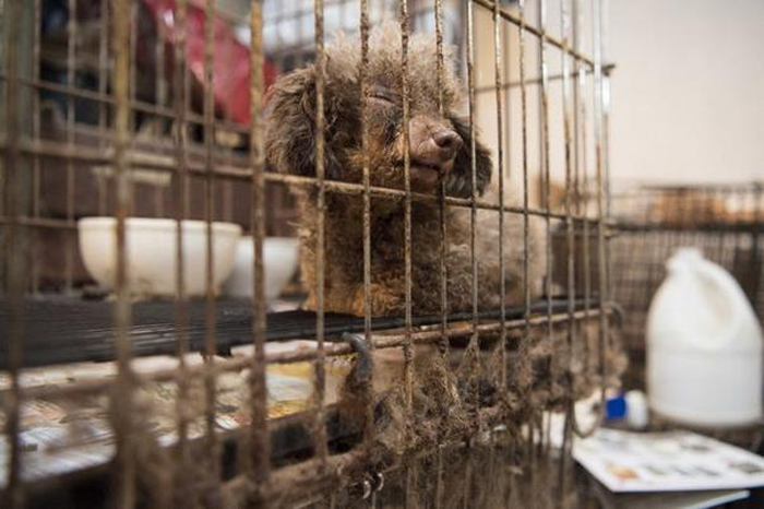 Маленькая собака породы пудель прожила всю свою жизнь в подвале.