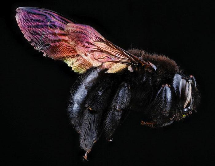 Черная пчела.
