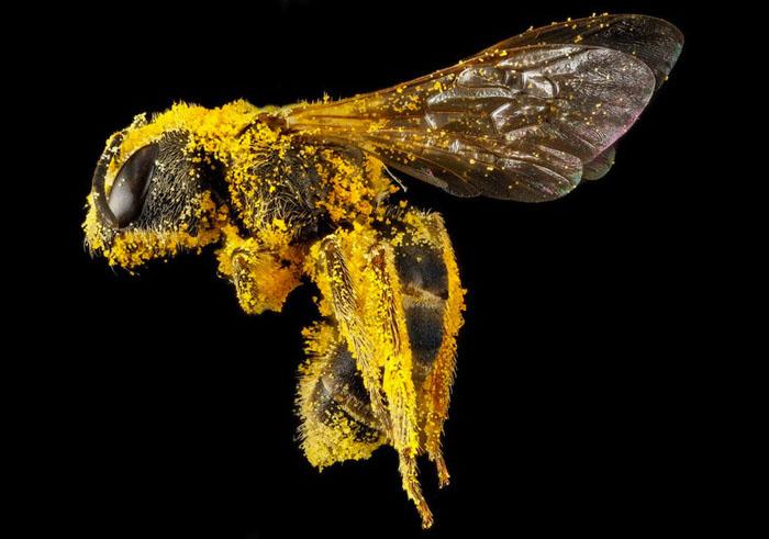 Пчела, покрытая пыльцой.