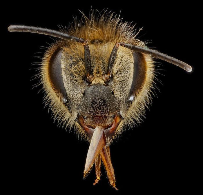 Портрет пчелы.