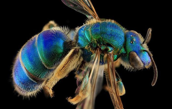 Лазурный цвет пчелы.