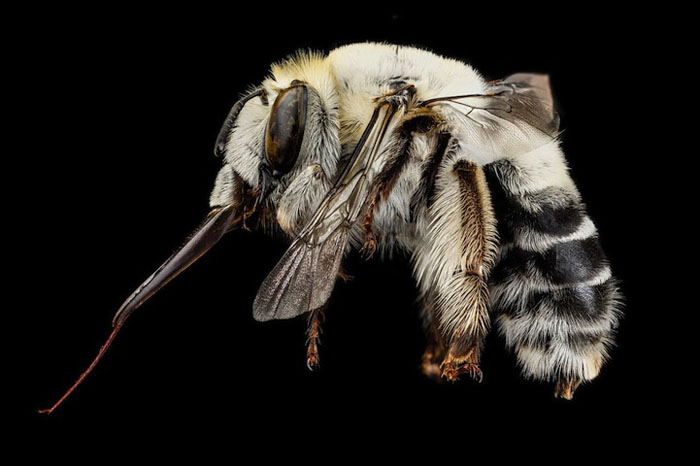 Суперчеткие снимки пчел от Геологического Центра США.