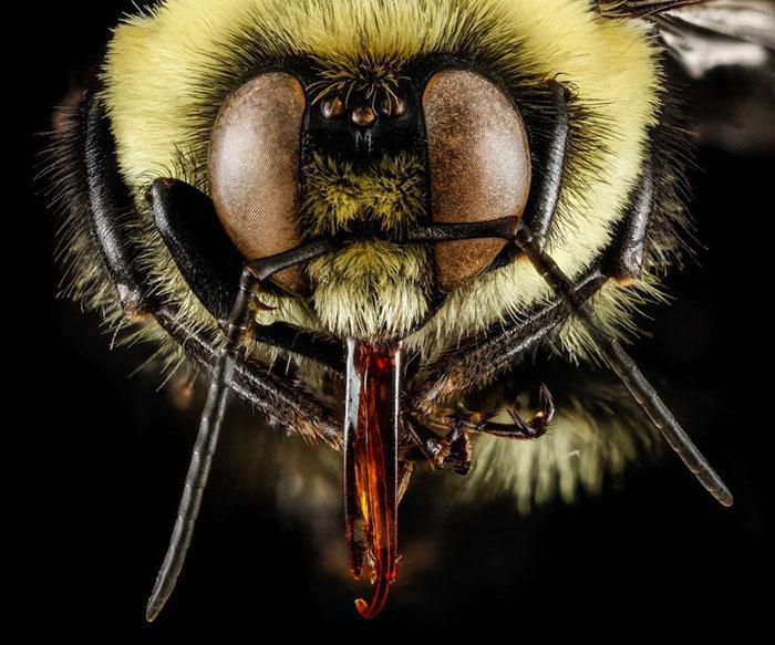 Портрет пчелы на супермакро.