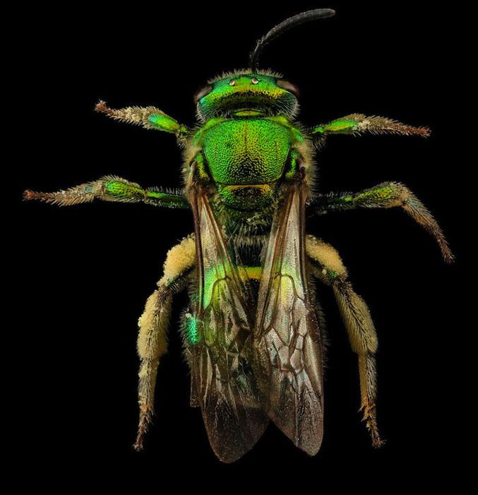 Зеленая пчела.
