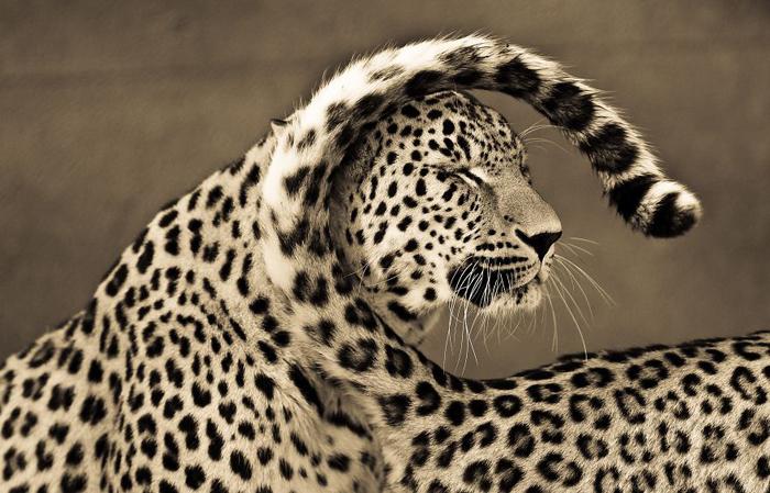 Крупные кошки от фотографа из Макидонии.