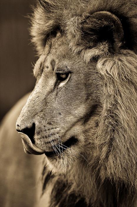 Портрет льва. Автор фото: Goran Anastasovski.