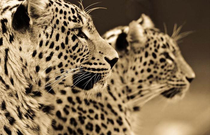 Два леопарда. Автор фото: Goran Anastasovski.