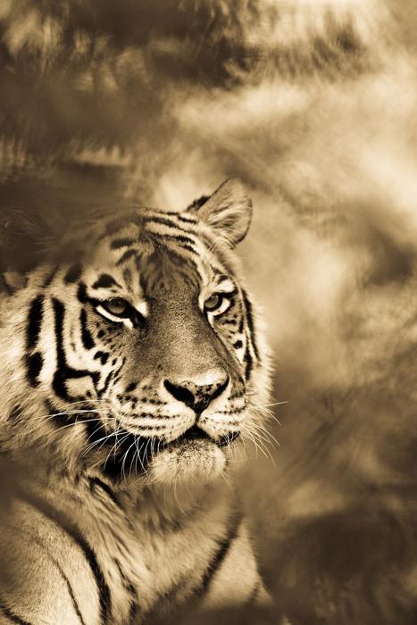 Тигр отдыхает в тени деревьев. Автор фото: Goran Anastasovski.